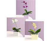 Orchid Plant Designer's Choice