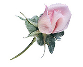 Pink Rose Boutonnier with Variegated Ivy in Albany NY, Emil J. Nagengast Florist
