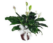 Peace Lily Plant in Indianapolis, Indiana, 317 Flowers