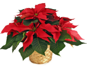 6'' Poinsettia in Indianapolis IN, 317 Flowers