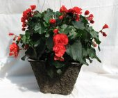 Begonia Basket in Lewistown MT, Alpine Floral Inc Greenhouse