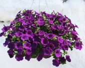 Royal Blue Supertunia Basket in Lewistown MT, Alpine Floral Inc Greenhouse