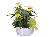 Basket Dish Garden - Medium in Wading River NY, Forte's Wading River Florist