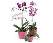 Orchid Plants in Big Rapids MI, Patterson's Flowers, Inc.