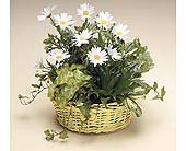 Dish Garden with Frest Cut Daisies in West Bloomfield MI, Happiness is...Flowers & Gifts