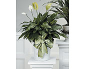Peace Lily Plant in Arlington TX, H.E. Cannon Floral & Greenhouses, Inc.