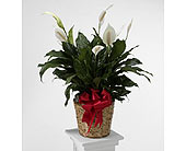 Tropical Peace Lily in Southfield MI, Thrifty Florist