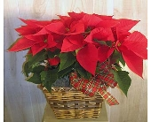 Red Poinsettia in Dallas TX, Petals & Stems Florist