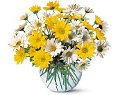 Dashing Daisies in Lansdale PA, Genuardi Florist