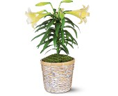Easter Lily Plant in Greenwood IN, The Flower Market