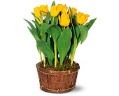 Potted Yellow Tulips in Lansdale PA, Genuardi Florist