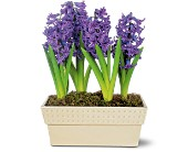 Hyacinth Planter in Madison ME, Country Greenery Florist & Formal Wear