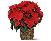 6 inch Poinsettia in Kelowna BC, Burnetts Florist & Gifts