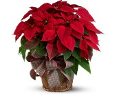 Large Red Poinsettia in Wallingford CT, Barnes House Of Flowers