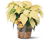 White Poinsettia in Sayville NY, Sayville Flowers Inc