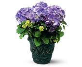 Blue Hydrangea in New Britain CT, Weber's Nursery & Florist, Inc.