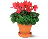 Sensational Cyclamen in San Clemente CA, Beach City Florist