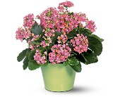 Pink Kalanchoe in Watertown NY, Sherwood Florist