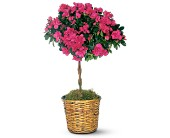 Azalea Topiary in San Clemente CA, Beach City Florist