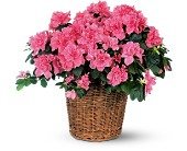 Pink Azalea in Friendswood TX, Lary's Florist & Designs LLC