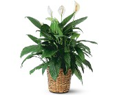 Large Spathiphyllum Plant in Tampa, Florida, Buds, Blooms & Beyond