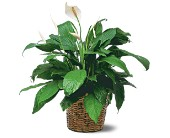 Medium Spathiphyllum Plant in Hilton NY, Justice Flower Shop