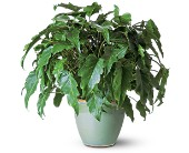 Xanadu Philodendron in Midwest City OK, Penny and Irene's Flowers & Gifts
