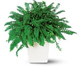 Decorative Fern in Hamilton ON, Joanna's Florist