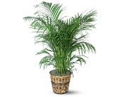 Areca Palm in North York ON, Ivy Leaf Designs
