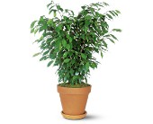 Ficus Bush in San Clemente CA, Beach City Florist