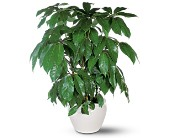 Schefflera in Arlington TX, H.E. Cannon Floral & Greenhouses, Inc.