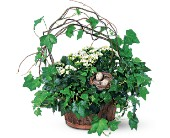 Kalanchoe and Ivy Basket in San Jose CA, Rosies & Posies Downtown