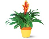 Exotic Bromeliad in Hamilton ON, Joanna's Florist