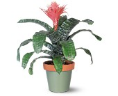 Tropical Bromeliad in San Clemente CA, Beach City Florist