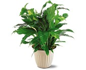 Spathiphyllum Plant in Buffalo Grove, Illinois, Blooming Grove Flowers & Gifts