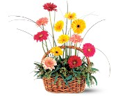 Uplifting Gerbera Basket in Brooklyn NY, David Shannon Florist & Nursery