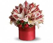 Teleflora's Peppermint Amaryllis in Fort Worth TX, Blossoms on the Bricks