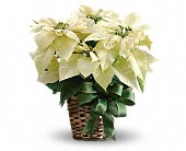White Poinsettia in Muskegon MI, Barry's Flower Shop