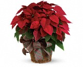 Large Red Poinsettia in Islip NY, Flowers by Chazz