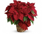 Red Poinsettia in Fredericton NB, Flowers for Canada