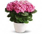 Happy Hydrangea - Pink in Mount Morris MI, June's Floral Company & Fruit Bouquets