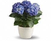 Happy Hydrangea - Blue in Hightstown NJ, South Pacific Flowers / Pottery Wheel Gallery