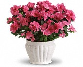 Pretty in Pink Azalea in Quincy WA, The Flower Basket, Inc.