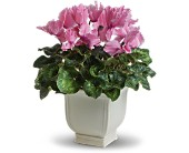 Sunny Cyclamen in Purcell OK, Alma's Flowers, LLC