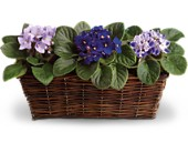 Sweet Violet Trio in Walled Lake MI, Watkins Flowers