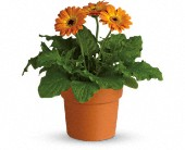 Rainbow Rays Potted Gerbera - Orange in Quincy WA, The Flower Basket, Inc.