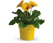 Rainbow Rays Potted Gerbera - Yellow in Alvarado TX, Remi's Memories in Bloom