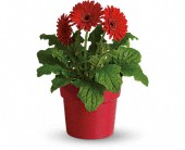Rainbow Rays Potted Gerbera - Red in La Prairie QC, Fleuriste La Prairie