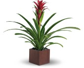 Teleflora's Bromeliad Beauty in Burlington WI, gia bella Flowers and Gifts