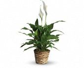 Simply Elegant Spathiphyllum - Small in Beaumont TX, Blooms by Claybar Floral